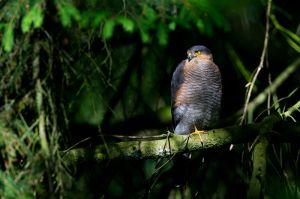 Sparrow-hawk   Sperwer