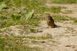Common Rosefinch fem. | Roodmus