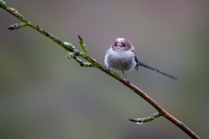 Long-tailed Tit | Staartmees