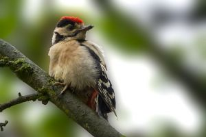 Great Spotted Woodpecker juv. | Grote Bonte Specht