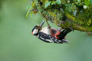 Great Spotted Woodpecker - male | Grote Bonte Specht
