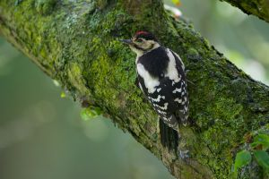 Great Spotted Woodpecker - juv. | Grote Bonte Specht
