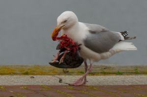 Herring Gull | Zilvermeeuw