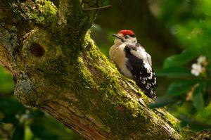 Great Spotted Woodpecker juv. | Grote Bonte Specht