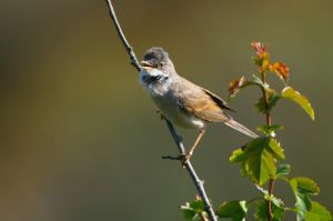 Common Whitethroat | Grasmus