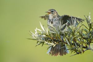 Meadow Pipit | Graspieper
