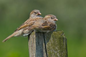 House Sparrow | Huismus