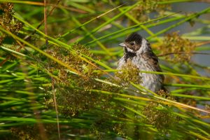 Reed Bunting   Rietgors