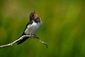 Barn Swallow   Boerenzwaluw