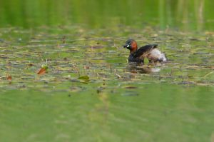 Little Grebe | Dodaars