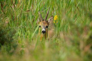Roa Deer | Ree