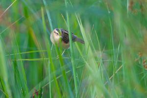 Aquatic Warbler | Waterrietzanger