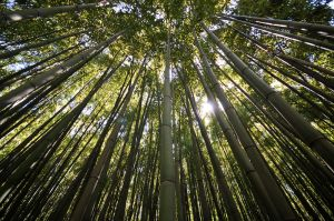 Bamboo Forest (France, 2010)