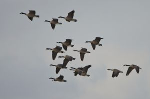 Canada Goose | Grote Canades Gans