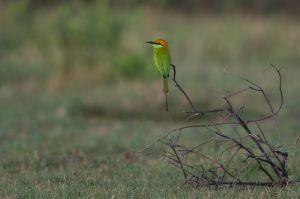 Little Green Bee-eater | Kleine Groene Bijeneter