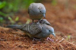 Peaceful Dove | Zebraduif