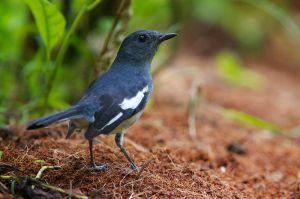 Oriental Magpie Robin | Dayalijster