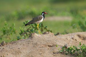 Red-wattled Lapwing | Indische Kievit