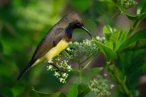 Olive-backed Sunbird | Staalborsthoningzuiger