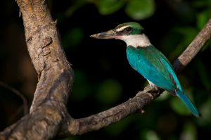 Collared Kingfisher | Witkraagijsvogel