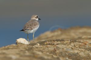 Greater Sand Plover | Woestijnplevier