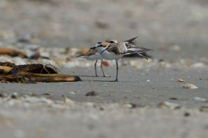 Malaysian Plover | Maleise Plevier