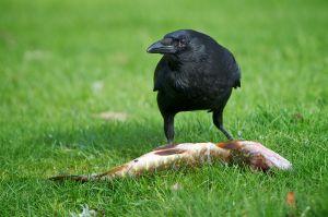 Carrion Crow | Zwarte Kraai