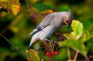 Bohemian Waxwing | Pestvogel