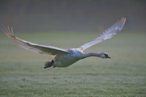 Mute Swan | Knobbelzwaan