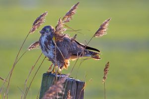 Common Buzzard   Buizerd