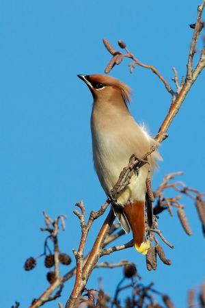 Bohemian Waxwing   Pestvogel