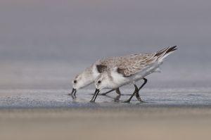 Sanderling   Drieteenstrandloper