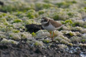 Common Ringed Plover | Bontbekplevier