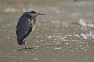 Grey Heron | Blauwe Reiger