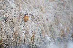 Kingfisher | IJsvogel