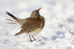 Fieldfare | Kramsvogel