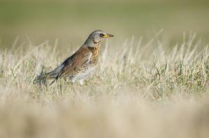 Kramsvogel | Fieldfare