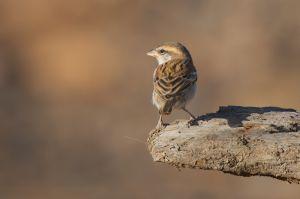 Iago Sparrow | Kaapverdische Mus