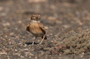 Bar-tailed Lark | Rosse Woestijnleeuwerik