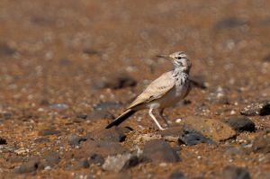 Greater Hoopoe Lark | Witbandleeuwerik