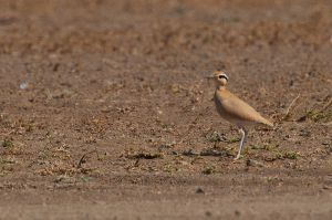 Cream-colored Courser | Renvogel