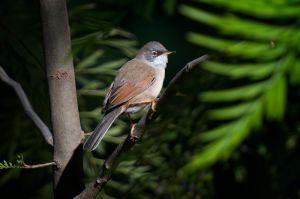 Spectacled Warbler | Brilgrasmus
