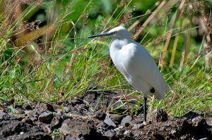 Little Egret | Kleine Zilverreiger