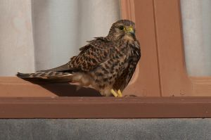 Common (forgotten) Kestrel | Vergeten Torenvalk