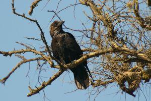 Brown-necke Raven  Bruinnekraaf