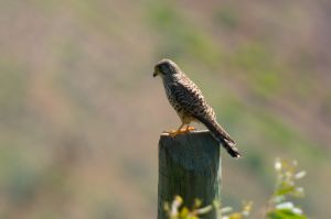 Common Kestrel | Torenvalk
