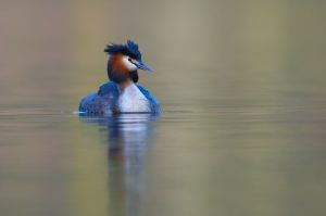 Great Crested Grebe   Fuut