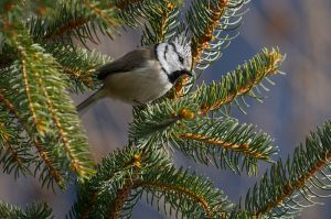 European Crested Tit | Kuifmees