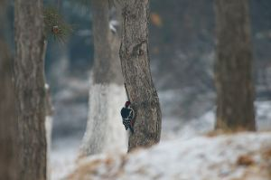 Great Spotted Woodpecker   Grote Bonte Specht