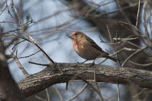 Pallas's Redfinch   Pallas' Roodmus